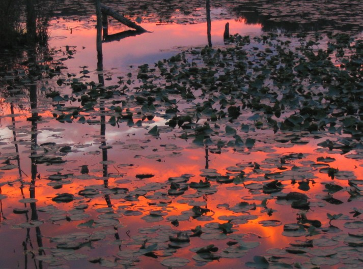 Swamp Lily Sunset