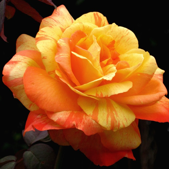 Ringling Rose