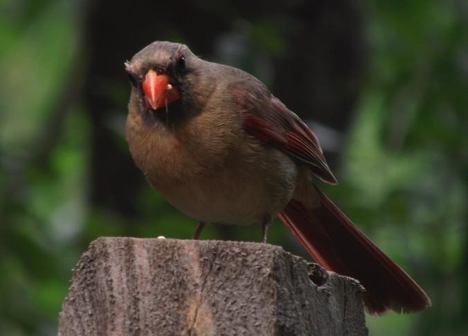 Old Cardinal Staring