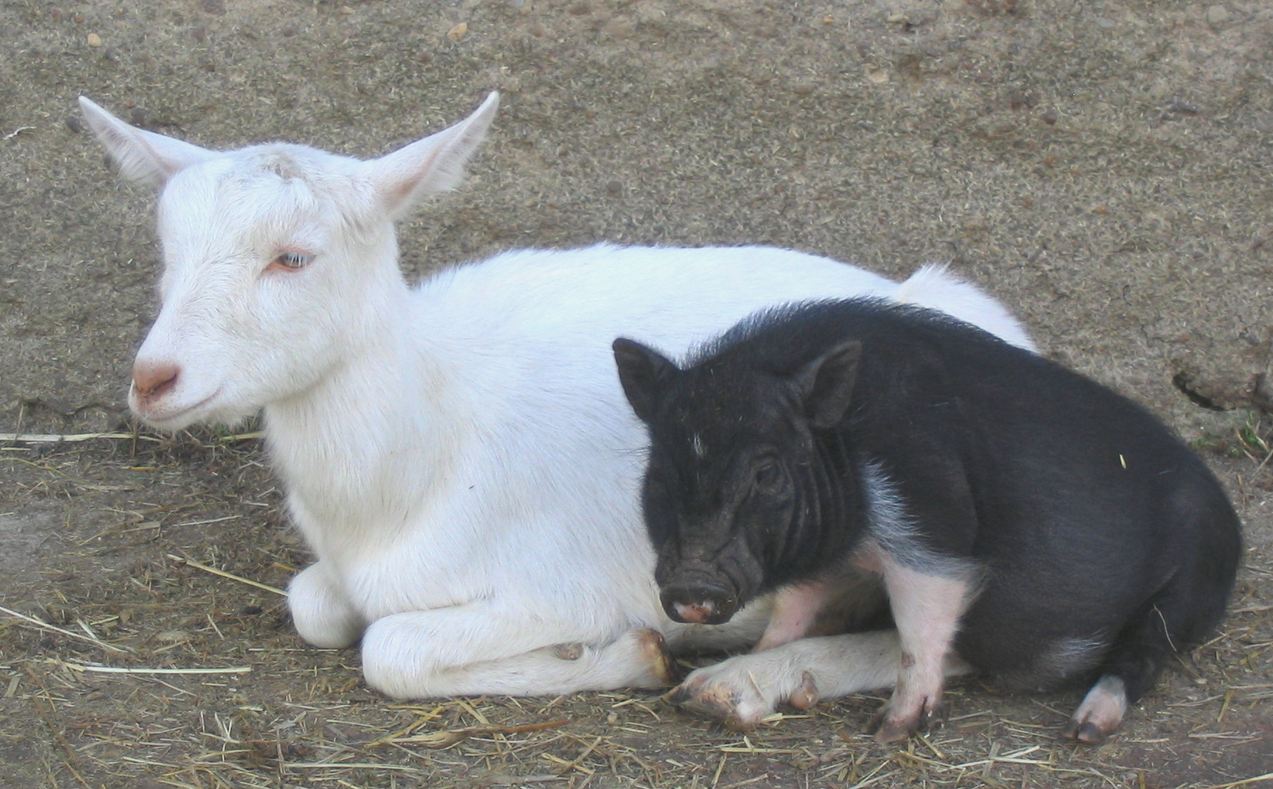 Goat And Pig Friends