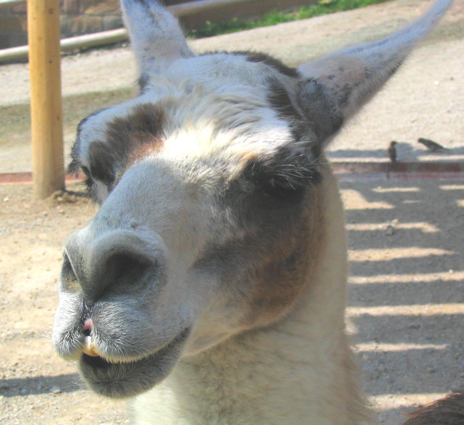 Lama Closeup Head