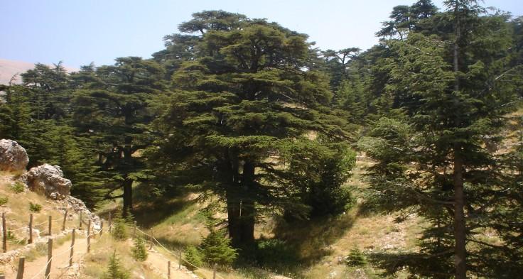 Lebanon_cedar_forest