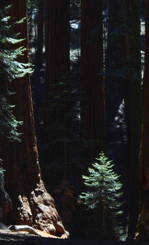Sequoia Grove Little Pine