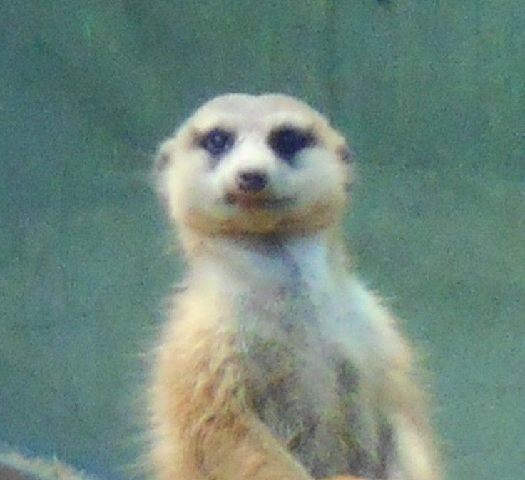 Meerkat Poses for His School Photo