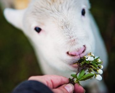 Sheep Being Fed Clover