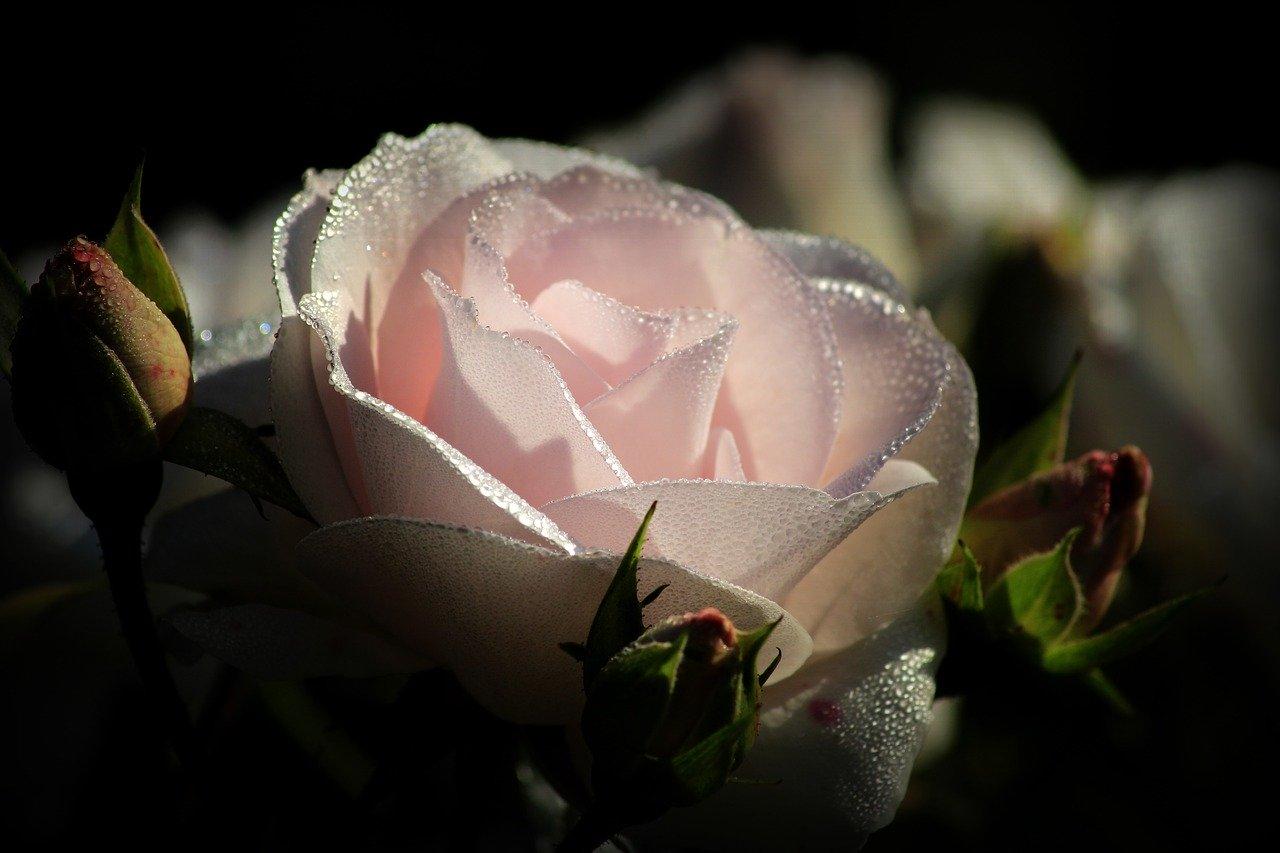 White Rose Light Dew